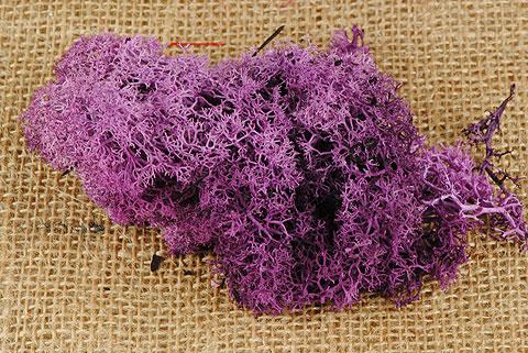 mousse d' islande violet