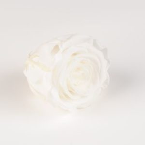 rose eternelle blanche